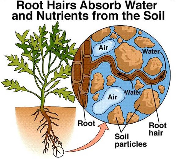 of root showing relationship hair and soil water absorption