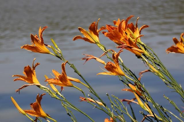 Blumen - Blumenfotos - Lilien