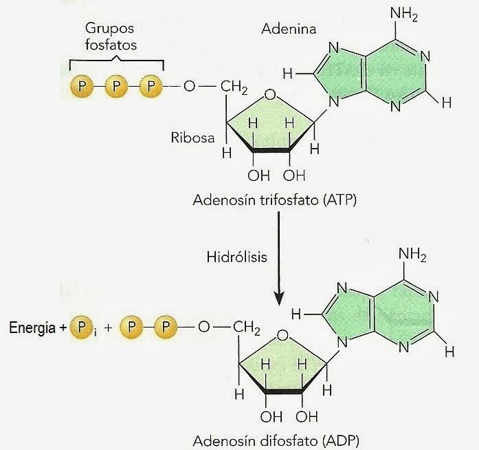 Bioquímica vegetal básica (8). ATP y cargadores energéticos ...