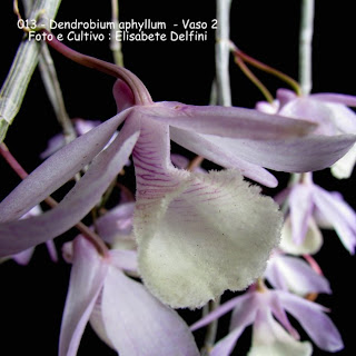 Dendrobium aphyllum - Vaso 2 do blogdabeteorquideas