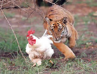 Tigre persiguiendo gallina