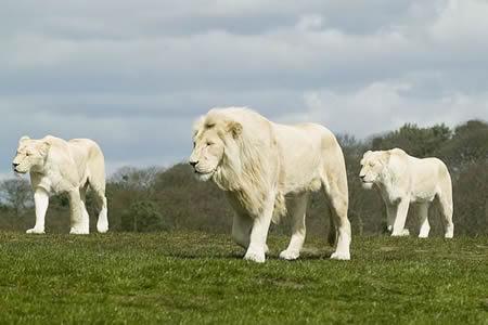 imágenes de leones