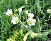 stitchwort or mouse ear chickweed 1