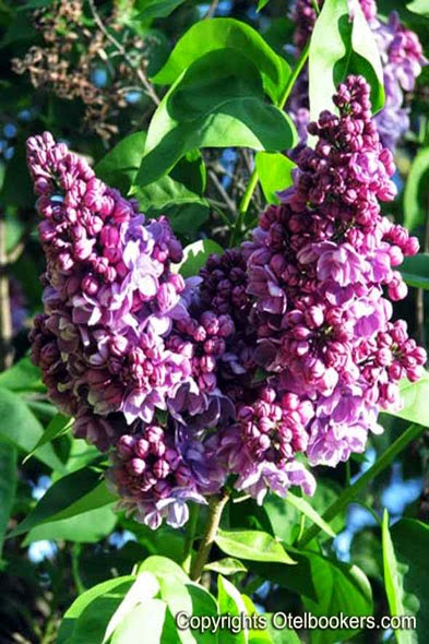 Purple lilac bushes in spring!