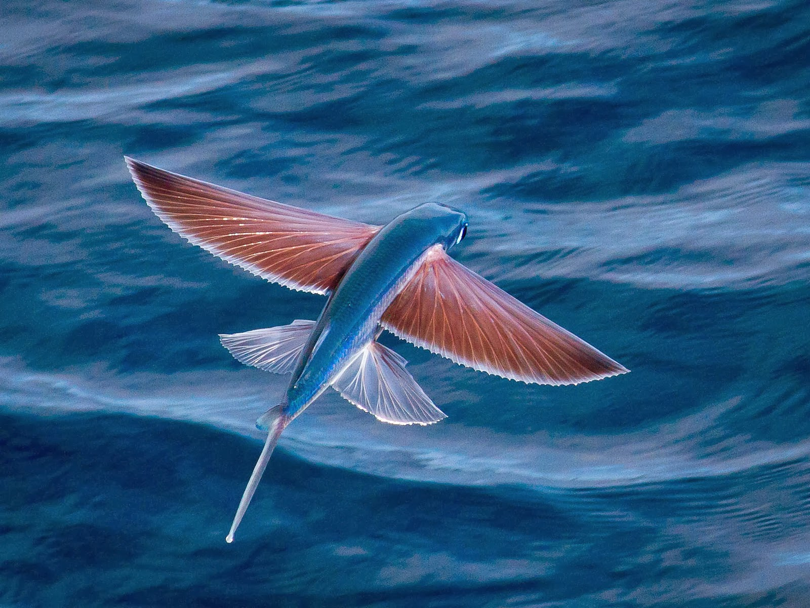 lovable images flying fish hd wallpapers free download