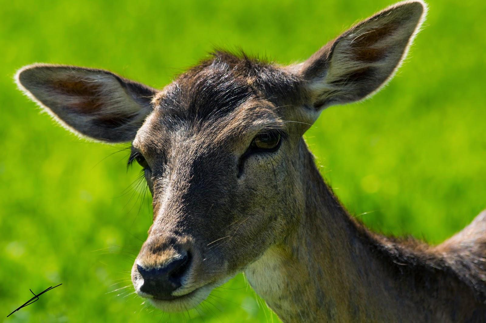 Fotografía en primer plano ciervo