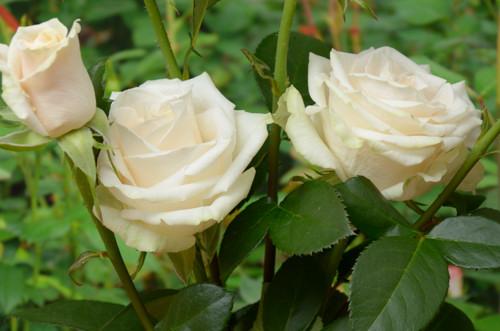 Vendela rose сорт розы фото