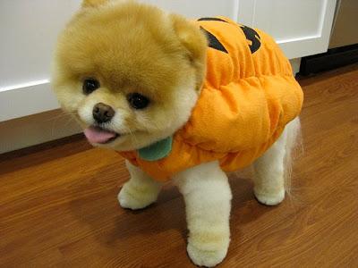 Boo Dog - Cutest Dog In The World