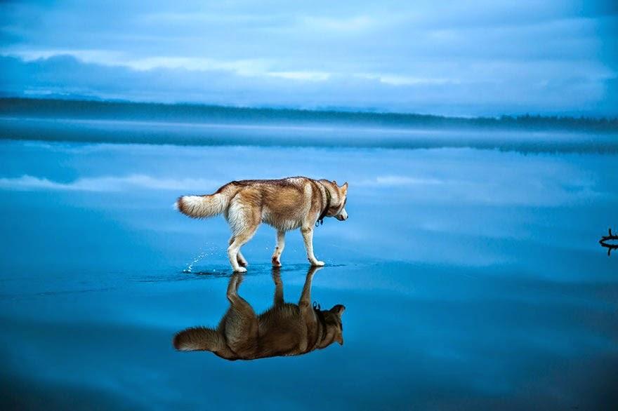 siberian husky playing frozen lake fox grom-2