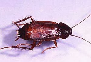 http://www.ampmexterminators.com/Cockroach-infestation.php