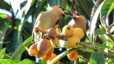 Cedar Waxwings Feasting on Loquat Fruit