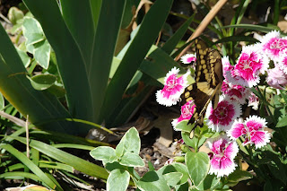 Swallowtail butterfly on dianthus flowers March 2013