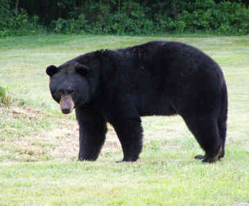 black bear returning