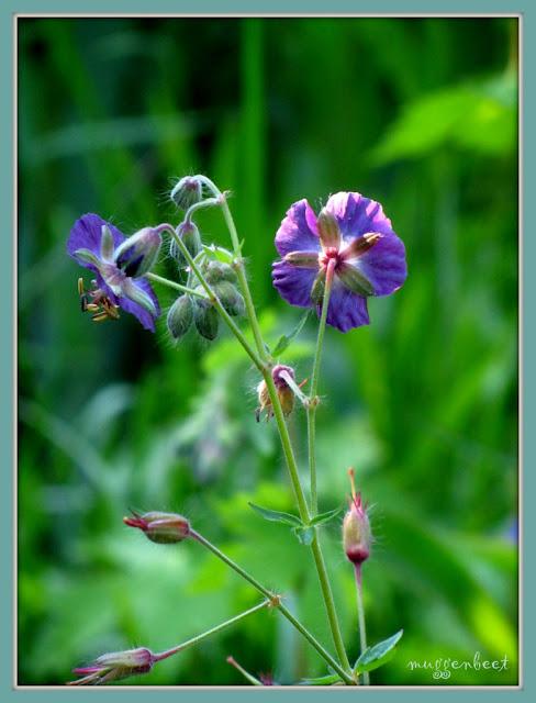 geranium phaeum (blauw)
