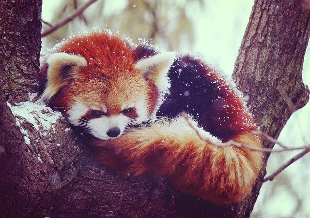 40 Adorable red panda pictures (40 pics), red panda laying on tree branch on snow day