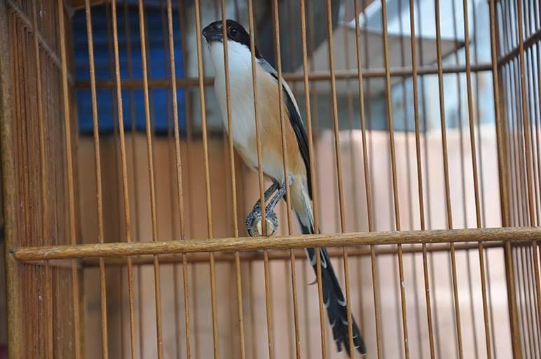 Burung Ciblek Mabung