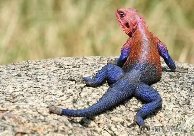 цветная ящерица