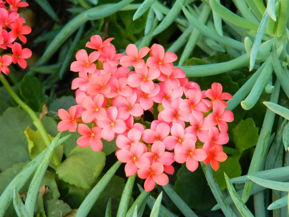Senecio serpens pink kalanchoe Centennial Park Conservatory  by garden muses-not another Toronto gardening blog