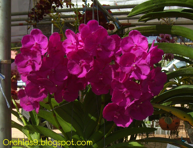 http://4.bp.blogspot.com/-qAP6hwzr-qE/TlyyIRTDCoI/AAAAAAAAAvs/xiEb323-myA/s1600/Vanda+Hybrid+Orchid+Flower+Picture+04.JPG