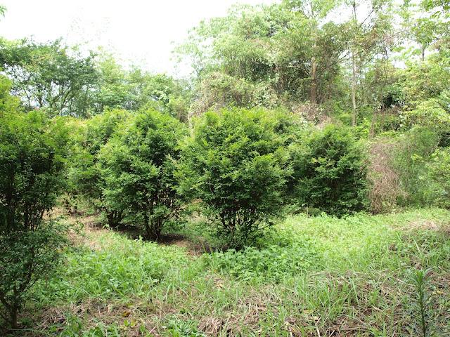 樹葡萄(嘉實果)植株