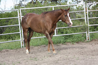 Sherman-Mom's QH Gelding