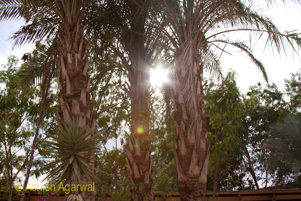 Palm trees located on the outskirts of the compound of the Abu Simbel temple in Egypt