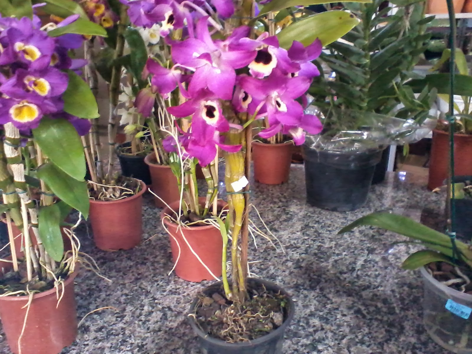 Mania de Verde: Orquídea olho de boneca #9B3097 1600x1200