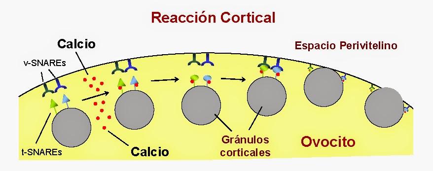 Secuencia de eventos que conducen a la liberación del contenido de los gránulos corticales tras producirse un aumento en la concentración de calcio dentro del ovocito con la participación de los complejos de proteínas SNARE
