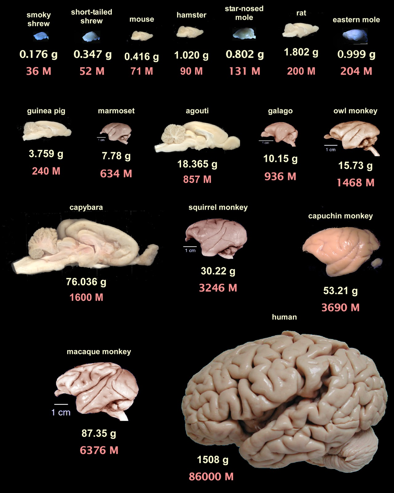 Galileo Feynman: Comparative Brain Anatomy in Different Animals ...