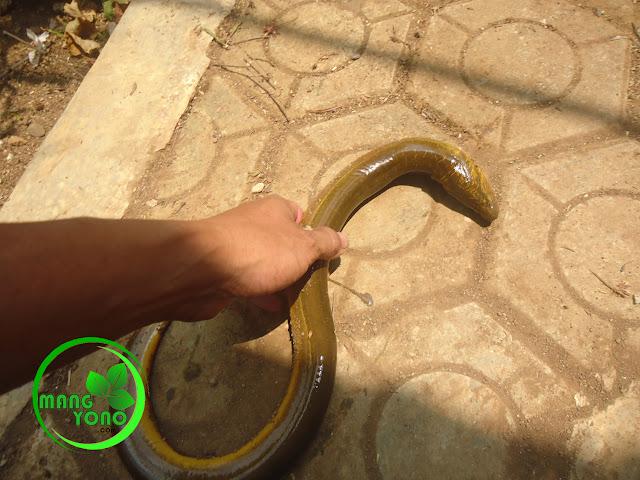 FOTO : Belut sungai / kali ukurannya lebih gede dari belut sawah..
