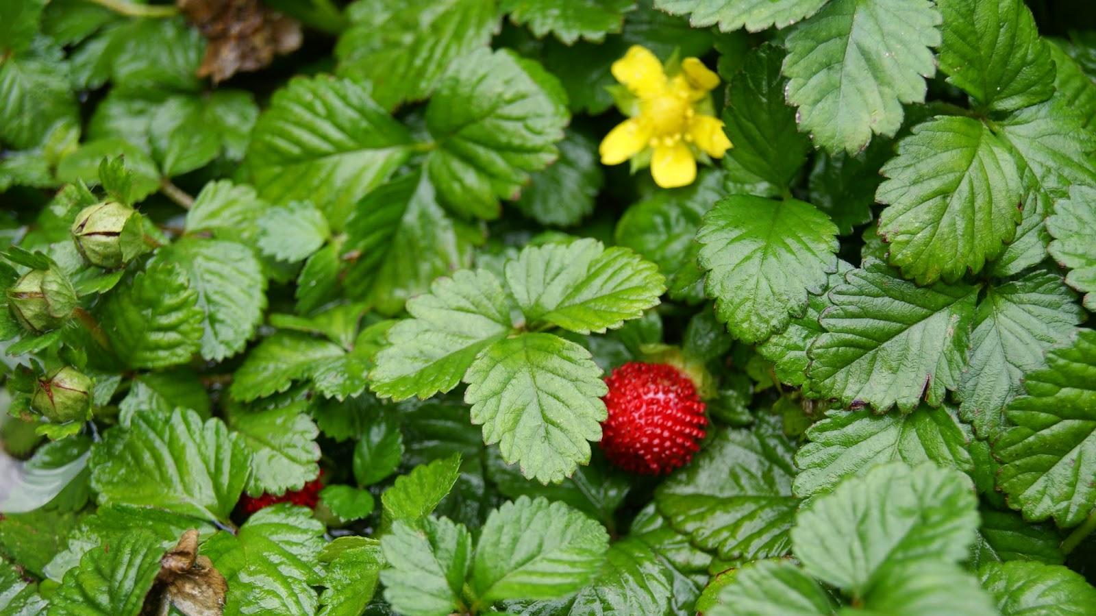 лето, земляника, дождь, хорошая погода, ягоды, цветы, земляника цветет