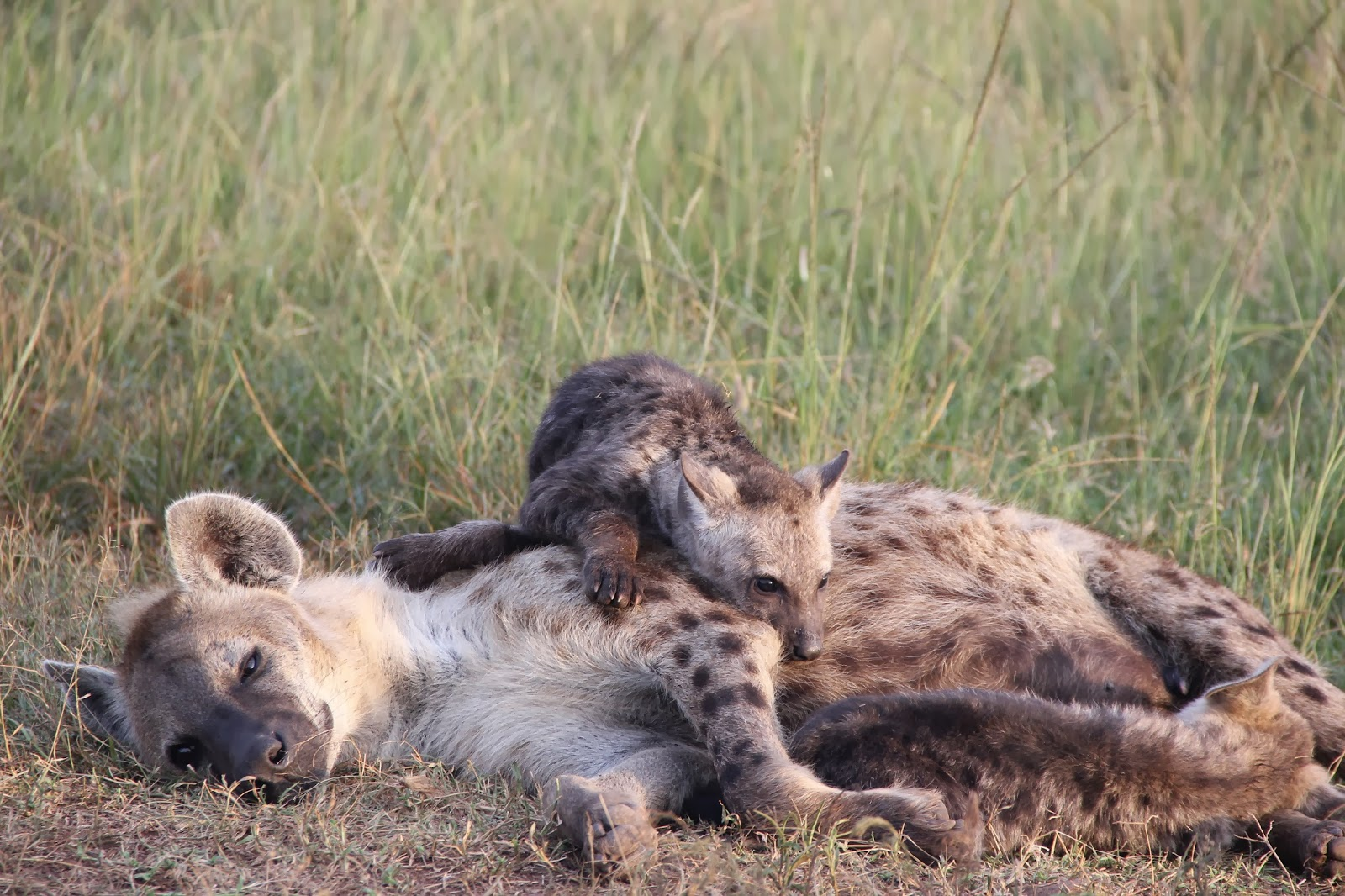 Notes From Kenya: MSU Hyena Research: Life can be hard for a hyena cub.