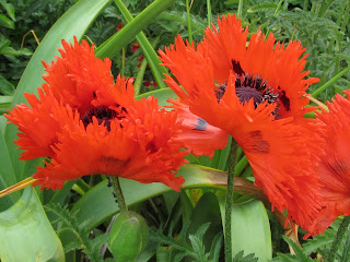 Group of red poppies