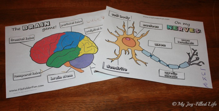 Human Body Unit Brain Nerves My JoyFilled Life – Parts of the Brain Worksheet