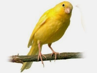 cara-merawat-burung-kenari