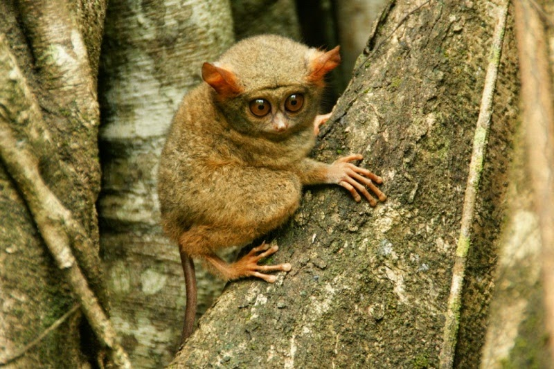 primata-tarsius