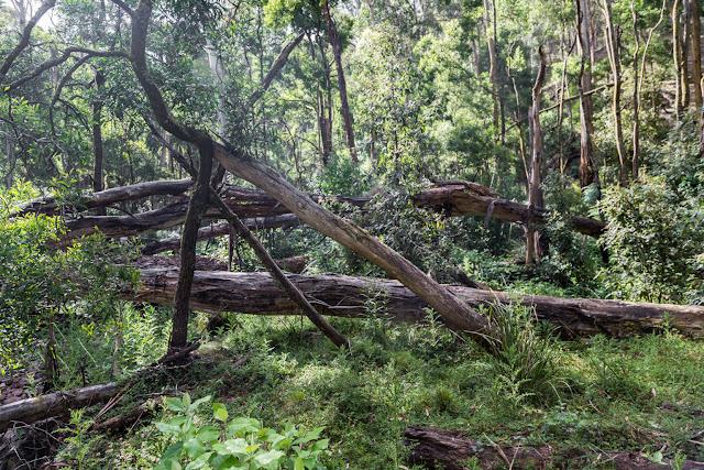 fallen trees yankee creek
