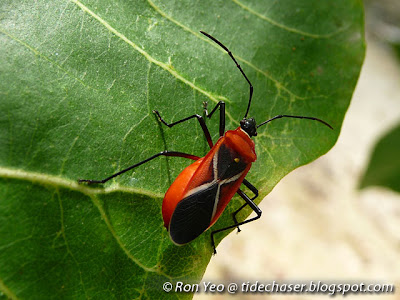 Thespesia Firebug (Dysdercus simon)