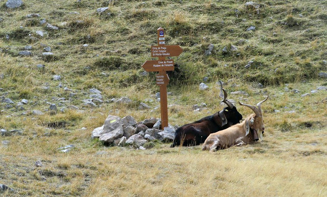 Goats on the trail to Cime du Pisset