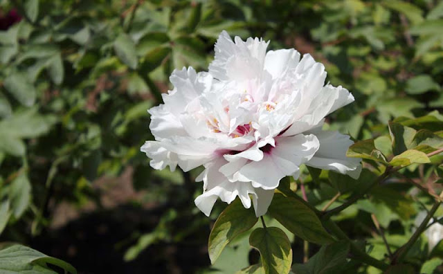 Peony Flowers Pictures