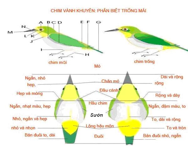 65fe428d7e0e60151ff42e092d83e9f7 42151473.2 Cách phân biệt chim vành khuyên trống và mái