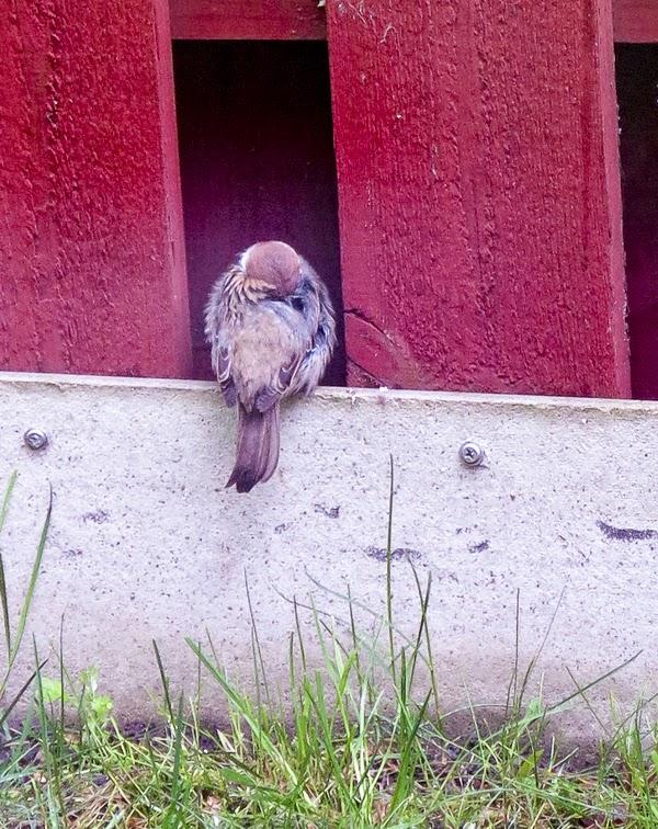 pilfink, fågelunge