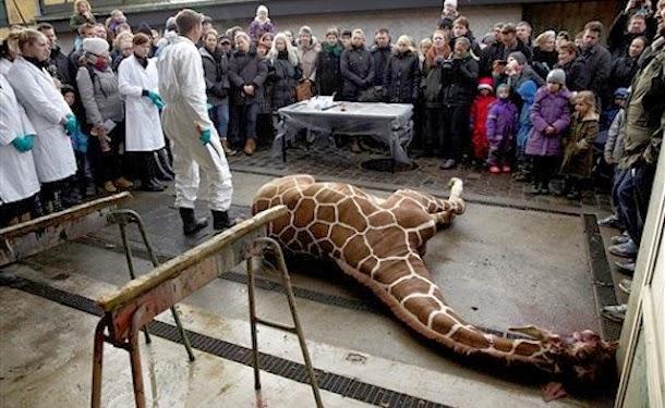 Zoo mata girafa excedente na frente de crianças para alimentar leões