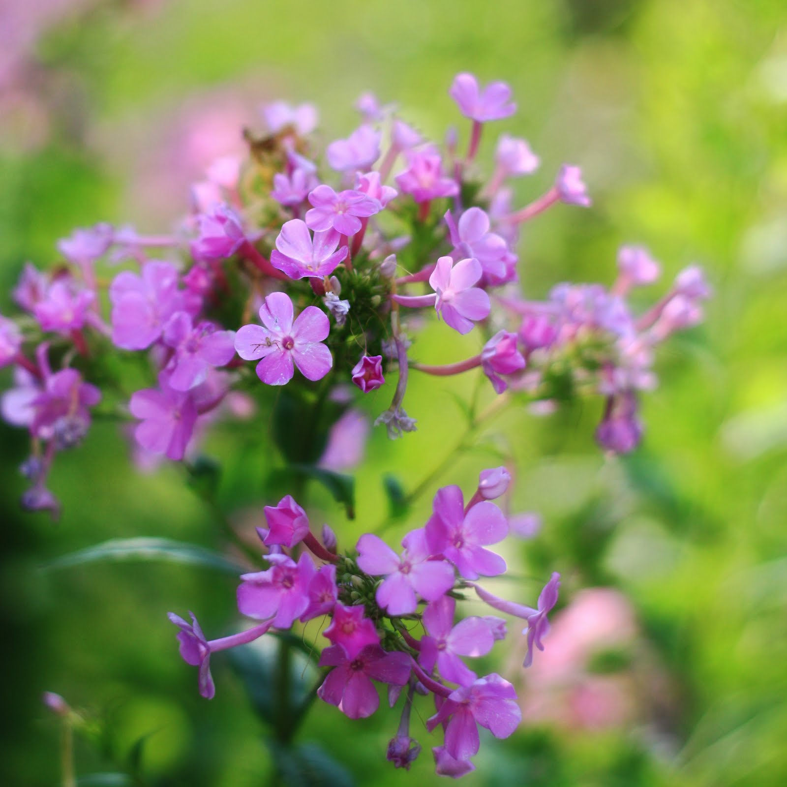 erin 39 s art and gardens the tall garden phlox is starting to bloom. Black Bedroom Furniture Sets. Home Design Ideas