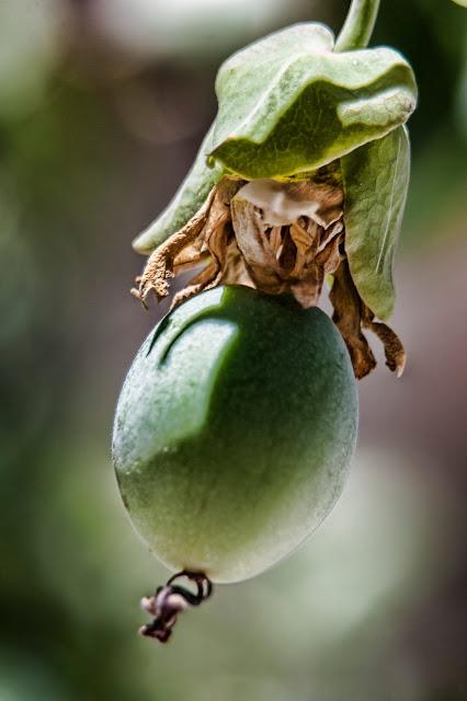 Fruto de la flor de la pasión en fotosmacro.blogspot.com