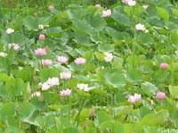 二枚の田んぼのハスは、上の田んぼより下が見ごろで淡いピンクの花が印象的だった