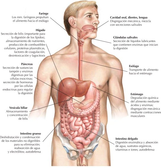 Sistema digestivo: organización | Netter Blog