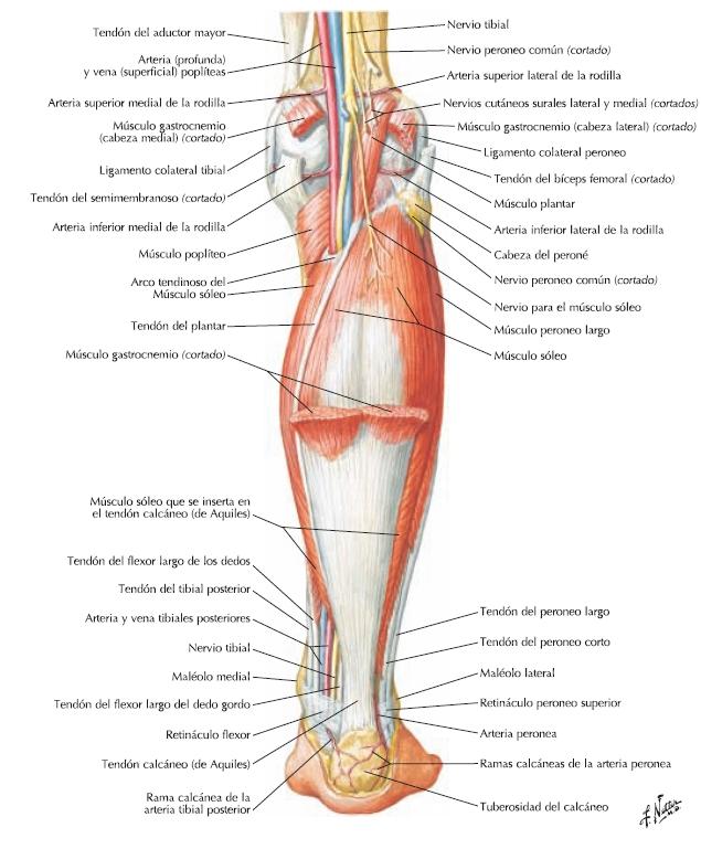 Moderno Diagrama De Músculo Rodilla Ilustración - Anatomía de Las ...