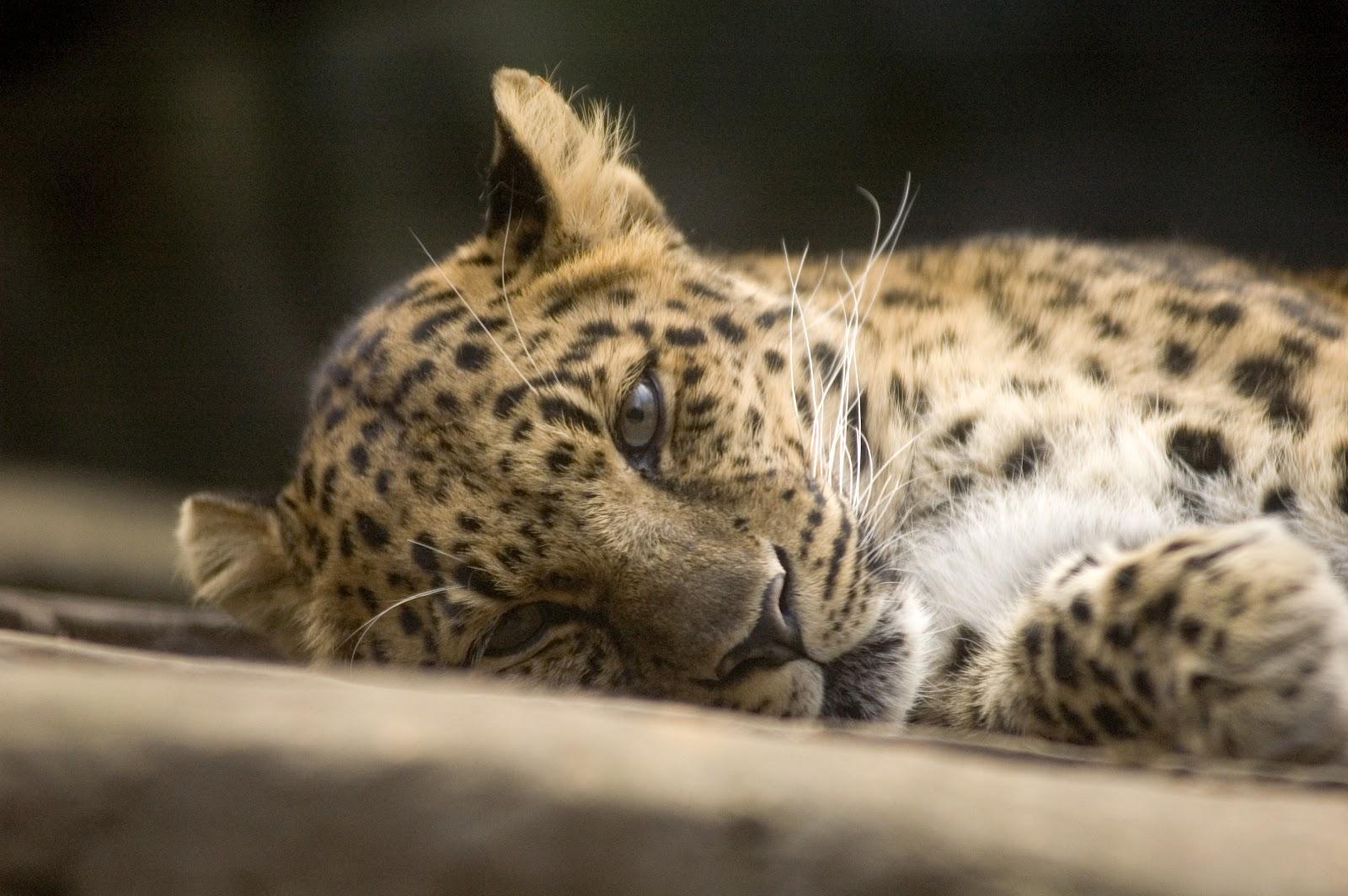 lets draw endangered species amur leopard