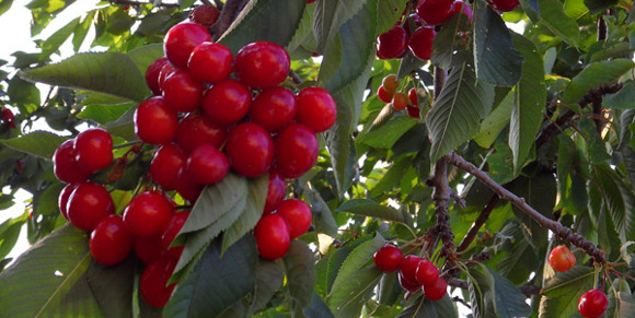 Image result for mengenal buah ceri untuk kue